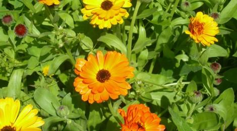 Macérât de Calendula Officinalis ou souci des jardins