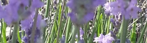 La lavande  Vraie Lavandula Officinalis ou augustifolia ou vera