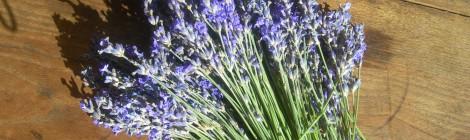 Lavande vraie Lavandula vera ou augustifolia