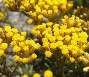 Hélichryse Italienne (Hélichrysum Italicum)  « Immortelle »