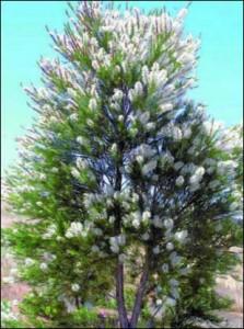 melaleuca_arbre