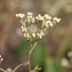 faradifani plante