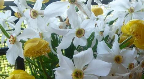 Les Narcisses et Boutons d'Or