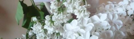 L'immaculé Lilas Blanc