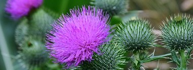 « Milk Thistle » Chardon Marie
