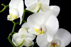 orchid-3097458_960_720