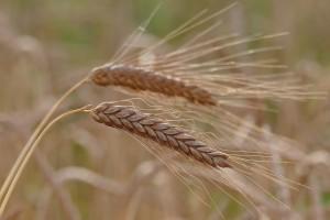 barley-4354846_960_720