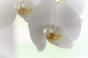 orchid-2097372_960_720