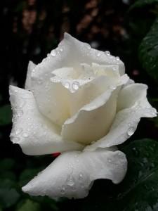 rosa-4178026_960_720