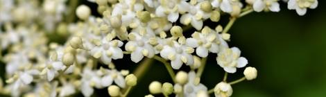 Sureau «Sambucus Canadensis»  plante antivirale sans pareil …